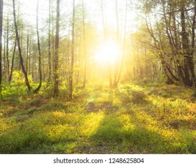Sun Rays Through Woods Trees In Summer Forest Beautiful Scenic View Sunset Or Sunrise
