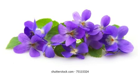 Violet Flower Images  Stock Photos   Vectors   Shutterstock violets flowers close up