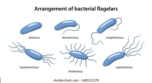 Flagellated Bacterial Structures