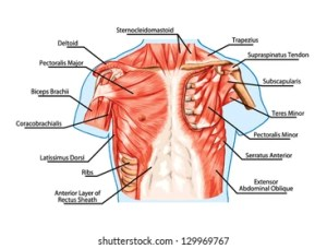 Chest Anatomy Images, Stock Photos & Vectors | Shutterstock