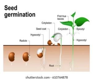 Germination Images, Stock Photos & Vectors | Shutterstock