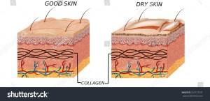 Skin anatomy diagram  paration good… Stock Photo