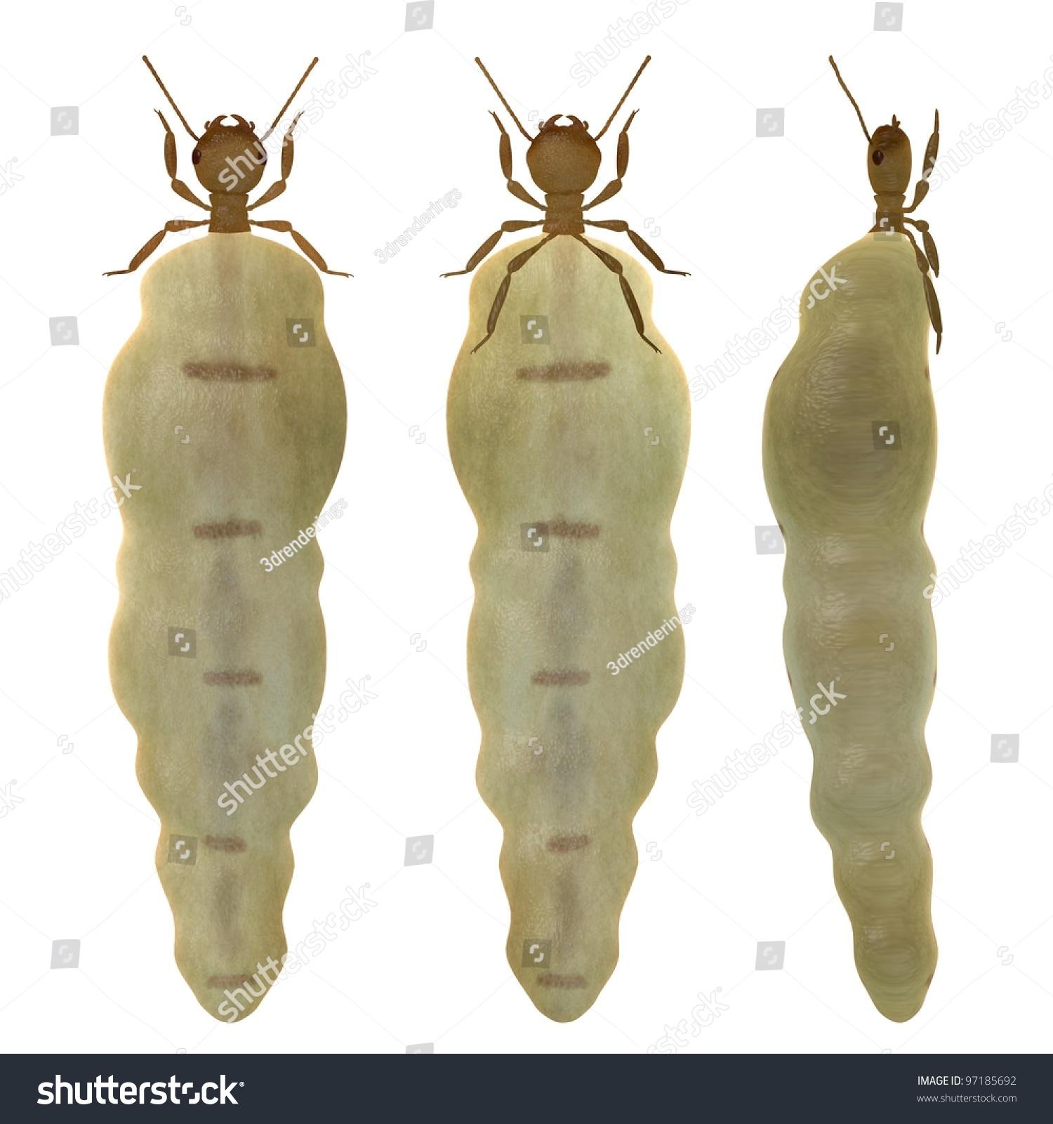 Termite Termite Queen Video