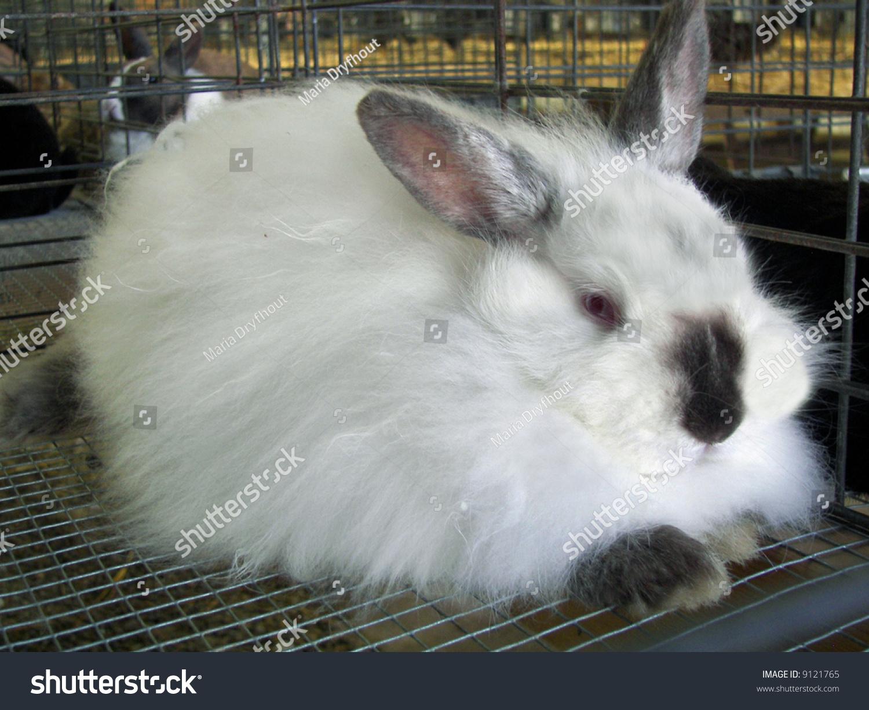 4h Angora Rabbit In Cage Stock Photo Shutterstock