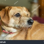 Cute Little Maltesebeagleshih Tzu Mix Puppy Stock Photo Edit Now 1172501002