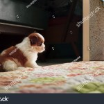 Adorable Baby Shih Tzu Puppy Dog Stock Photo Edit Now 176786759