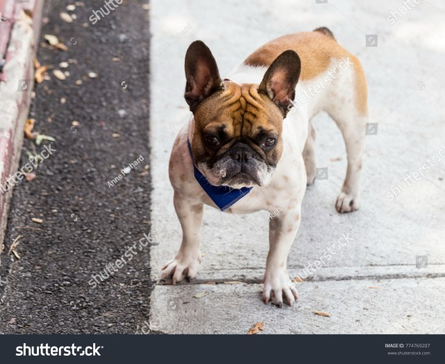 adult male fawn white french bulldog stock photo (edit now