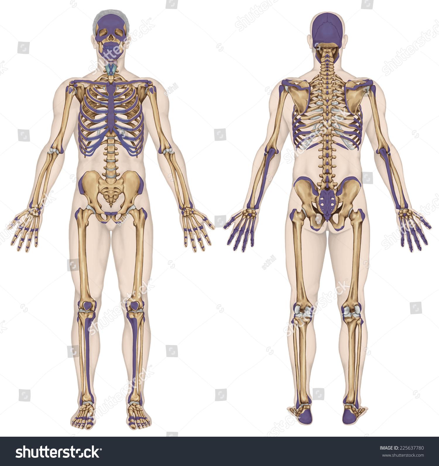 Anatomical Body Human Skeleton Anatomy Human Stock