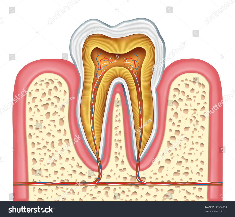 Anatomy Healthy Human Tooth Diagram Dentist Stock