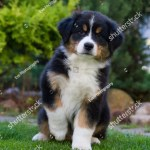 Australian Shepherd Puppy Outside Cute Puppy Stock Photo Edit Now 1030870141
