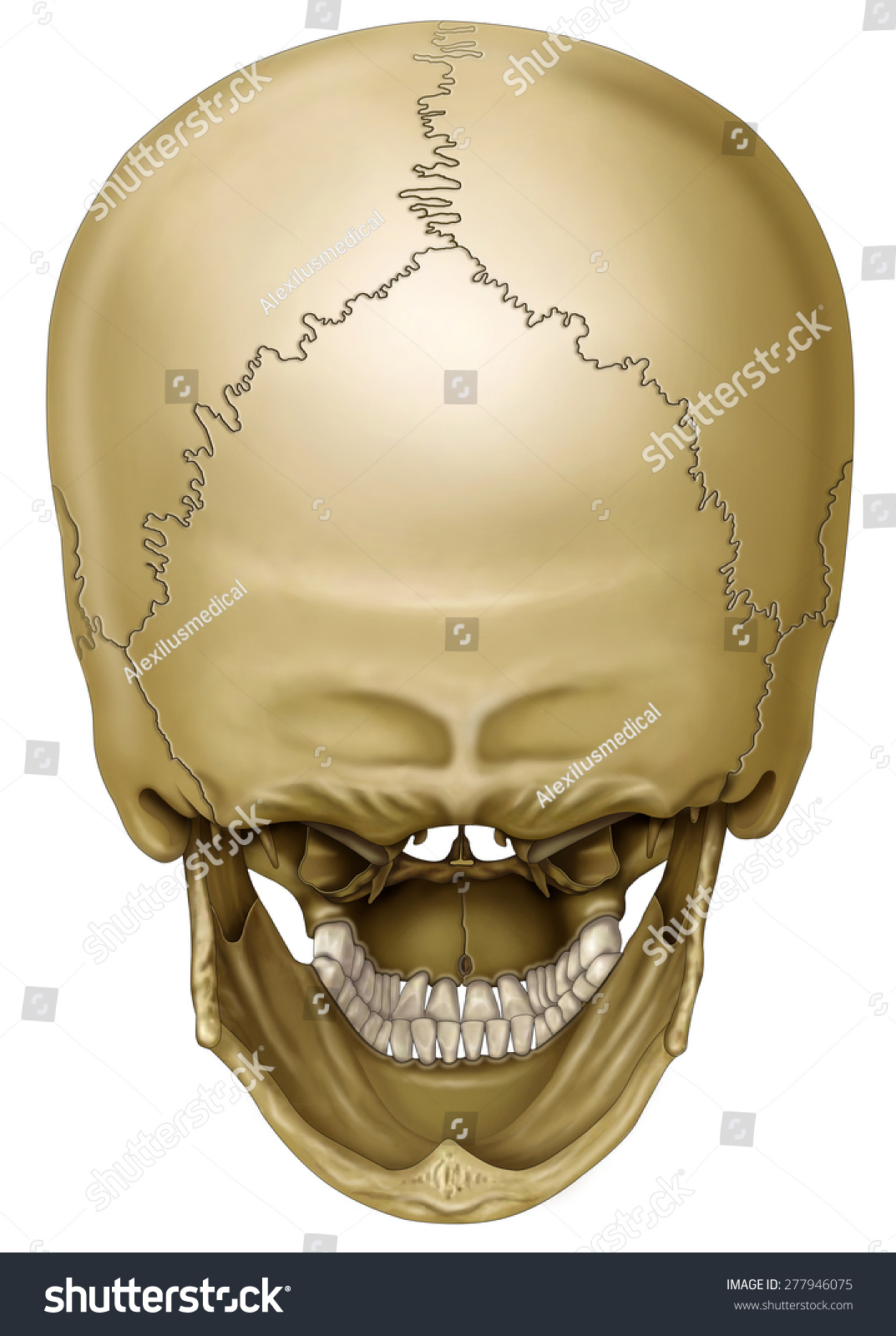 Back View Human Skull Stock Illustration