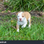 Beautiful Puppyamerican Bulldog Puppy Blue Eyes Stock Photo Edit Now 761153254
