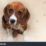 Beautiful Young Dog Beagle Puppy Sitting Stock Photo Edit Now 1601250361