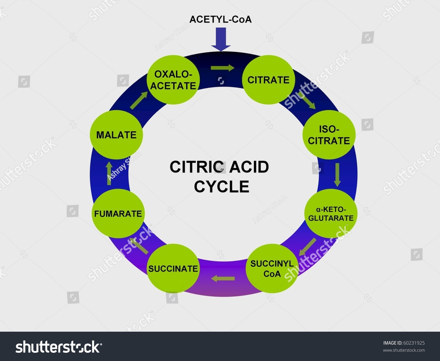 Citric Acid Cycle Stock Photo Shutterstock