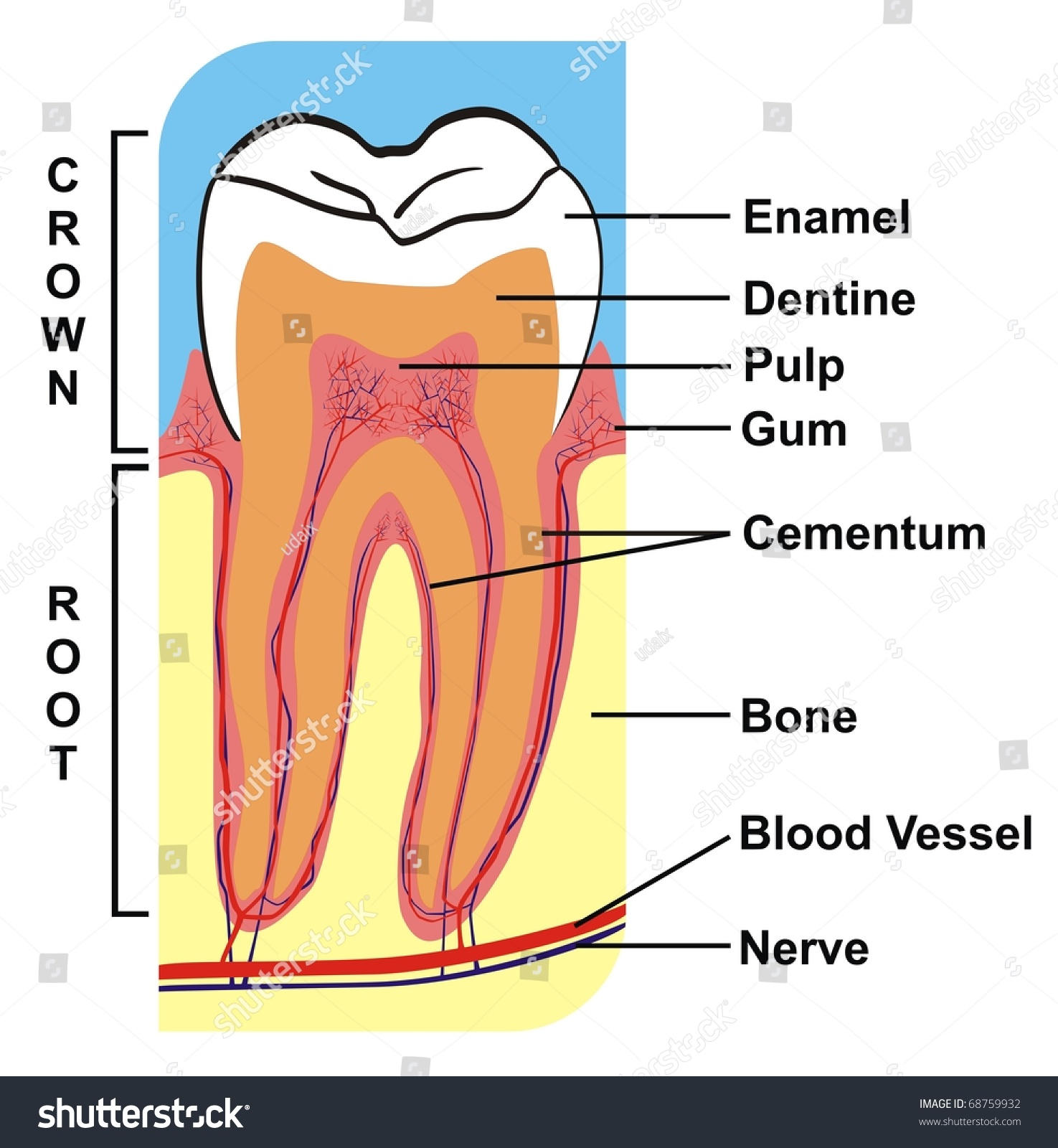 Cross Section Of Tooth Crown Amp Root Including The