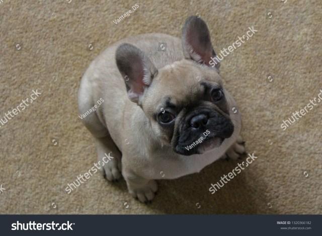 cute fat fawn french bulldog puppy stock photo (edit now