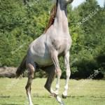 Dappled Arabian Horse Rearing Stock Photo Edit Now 470103053