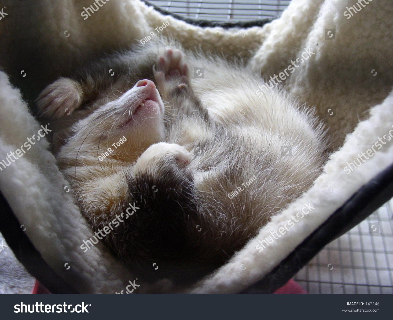 Ferret Sleeping In A Hammock Stock Photo Shutterstock