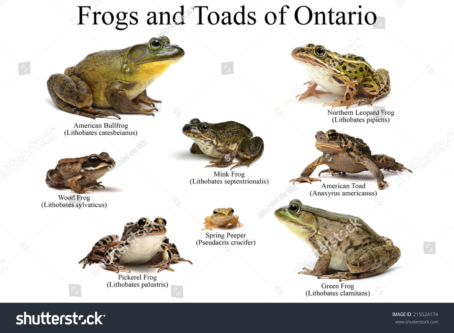 Frogs Toads Ontario On White Background Stock Photo