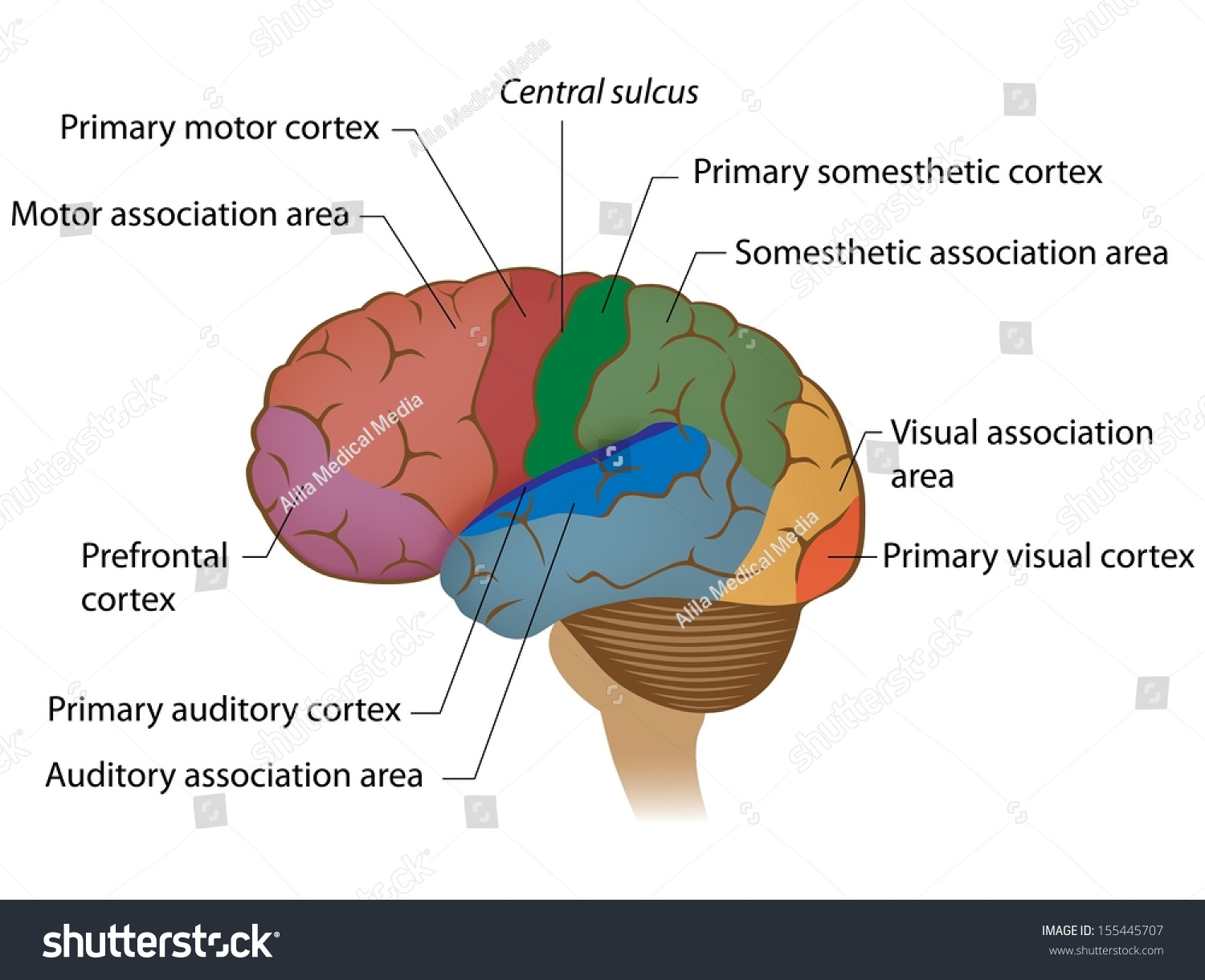 Functional Areas Brain Labeled Stock Illustration