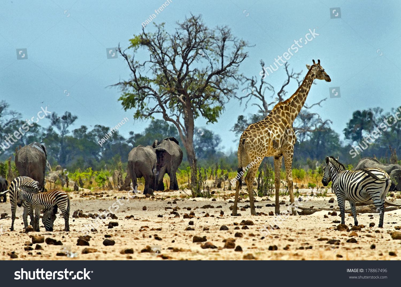 Giraffe Elephant Zebra African Scene This Stock Photo