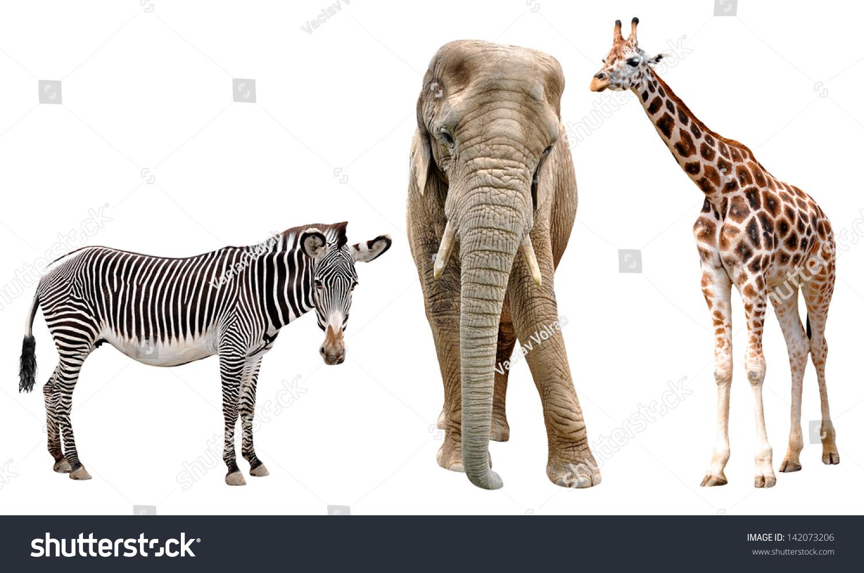 Giraffes Elephant And Zebras Isolated On White Stock