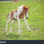 Gorgeous Foal Baby Horse Horse Runs Stock Photo Edit Now 1399077329