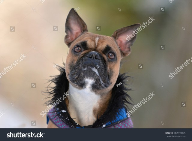 head fawn french bulldog dog pointy stock photo (edit now