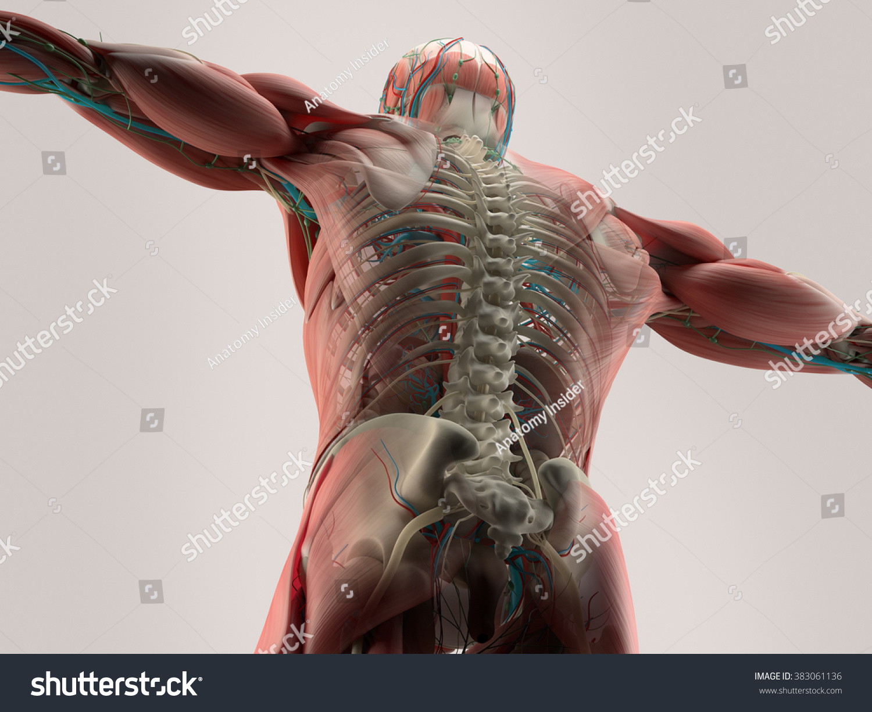 Human Anatomy Detail Backspine Bone Structure Stock
