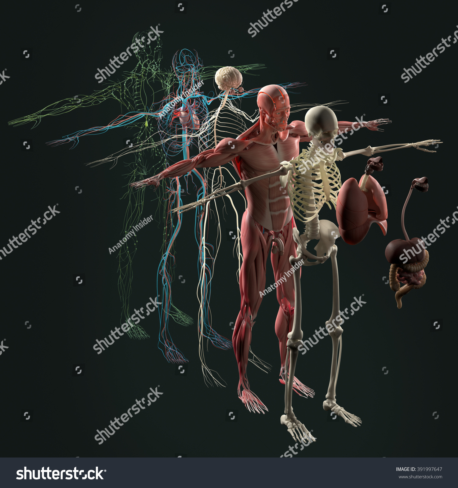 Human Anatomy Exploded View Deconstructed Separate Elements Muscle Bone Organs Nervous