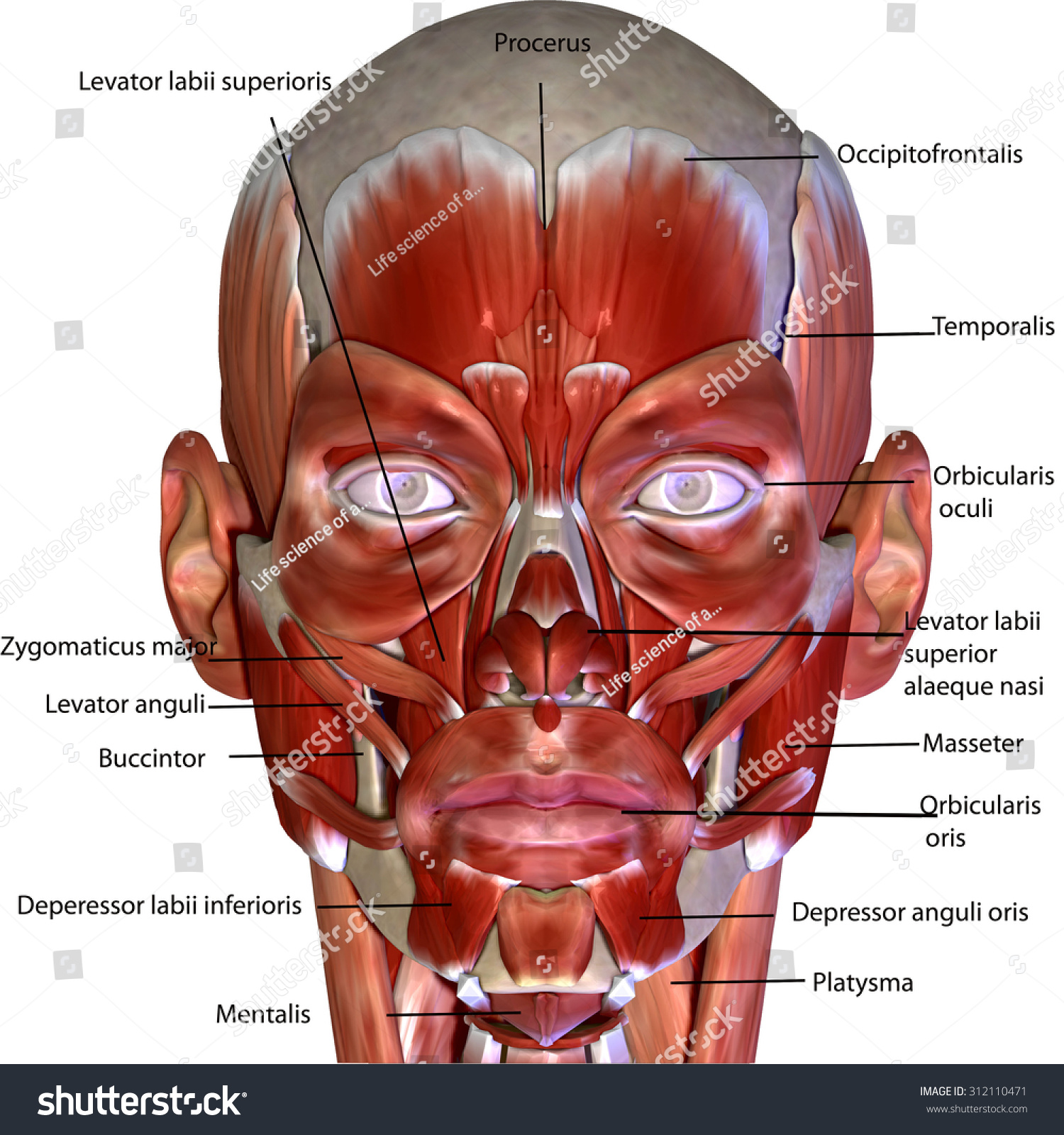 Human Body Face Muscles Stock Illustration