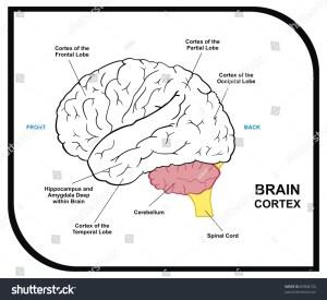 Human Brain Diagram Including Cortex Frontal Stock Photo