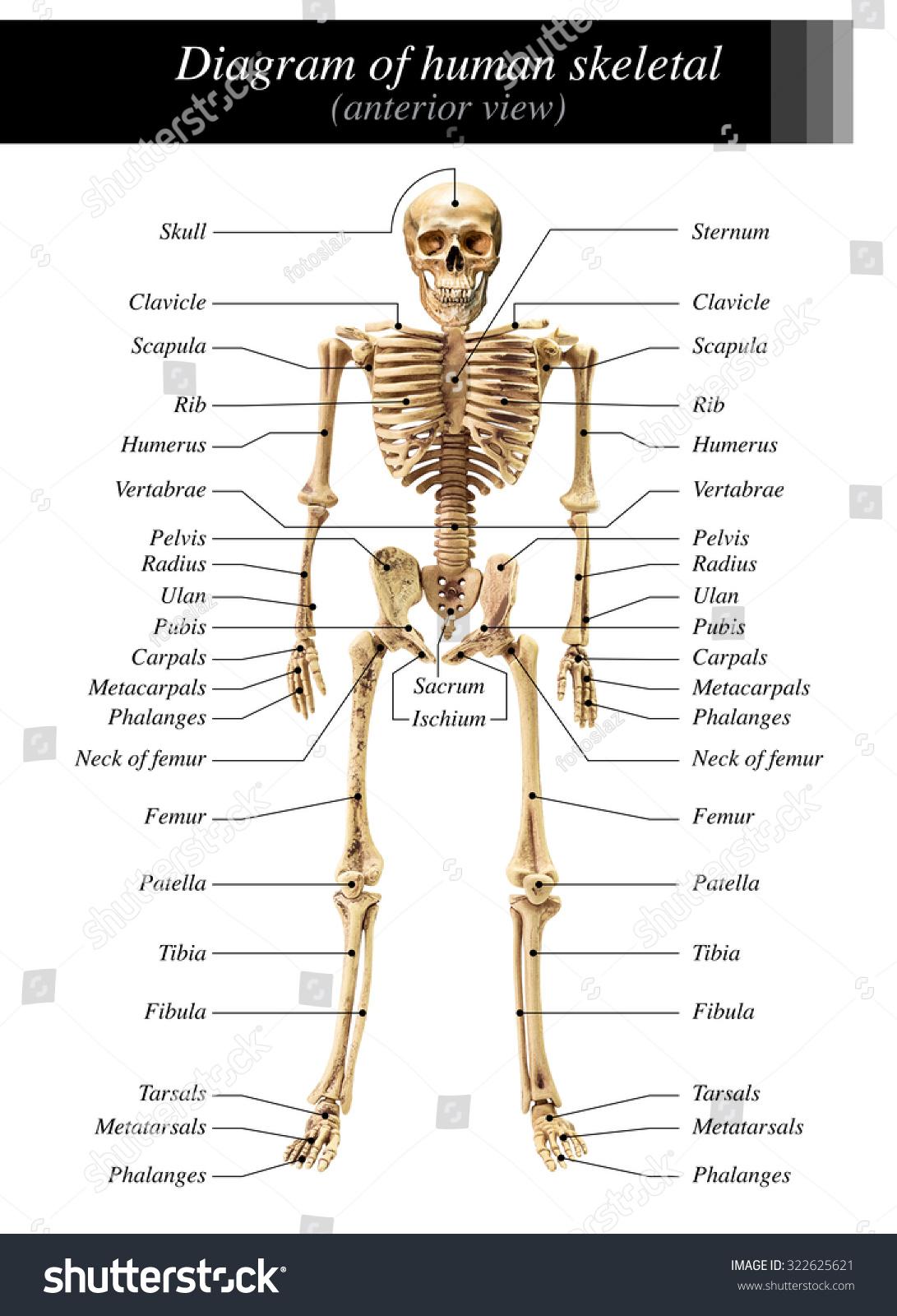 Blank Posterior Skeleton Diagram