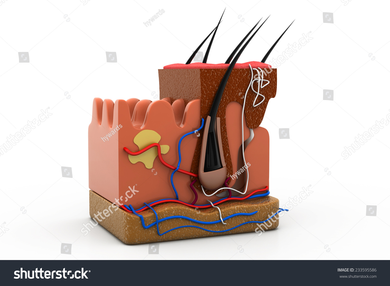 Human Skin Anatomy Cross Section Stock Photo