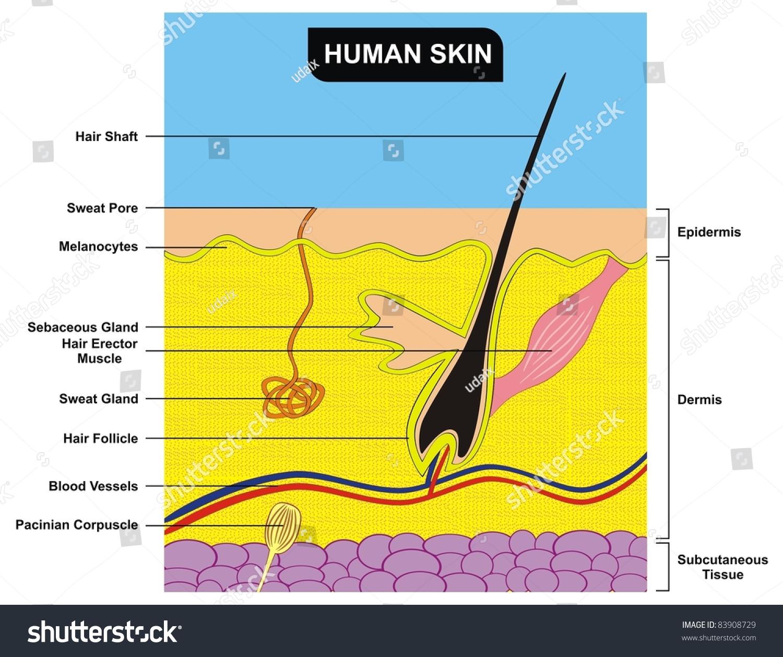Human Skin Cross Section Stock Photo Shutterstock