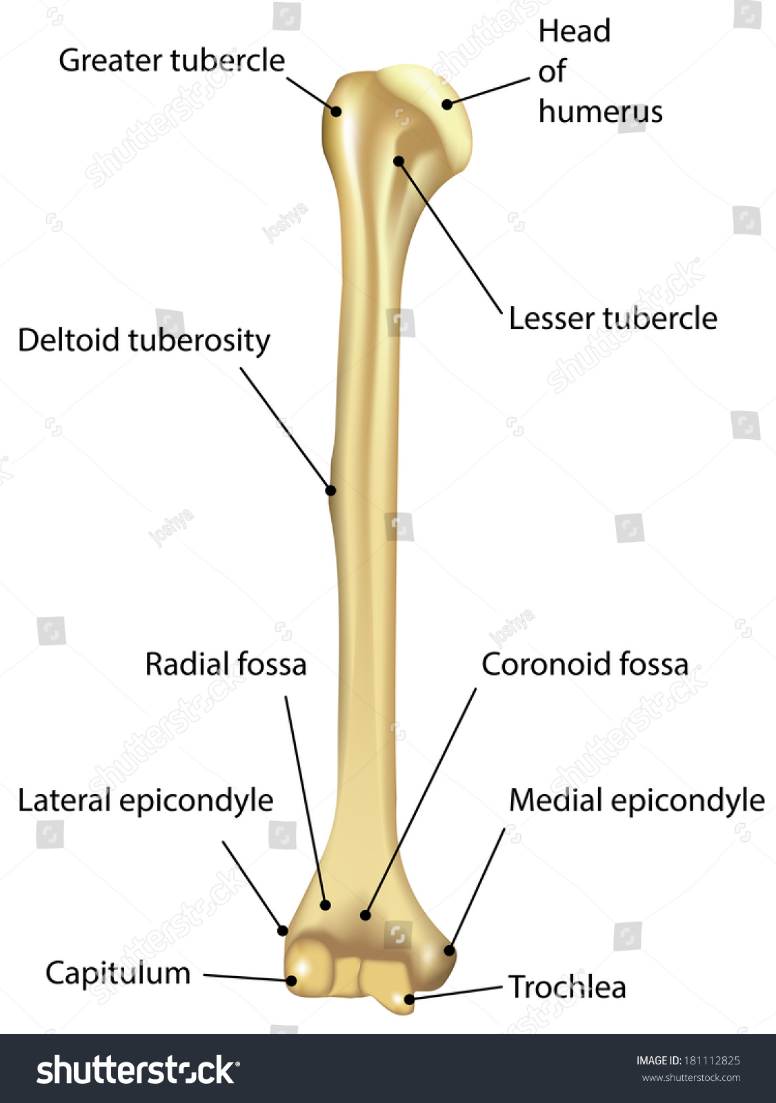 Humerus Diagram Labeled