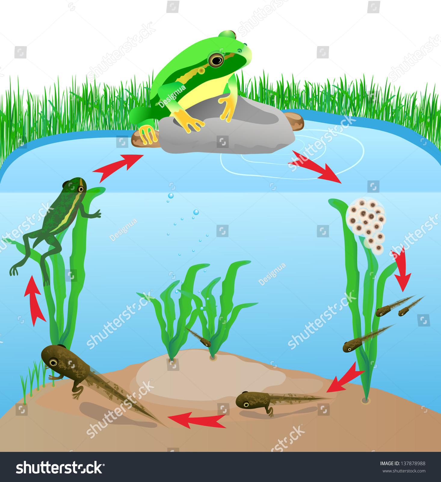 Life Cycle European Tree Frog Metamorphose Hyla Rana