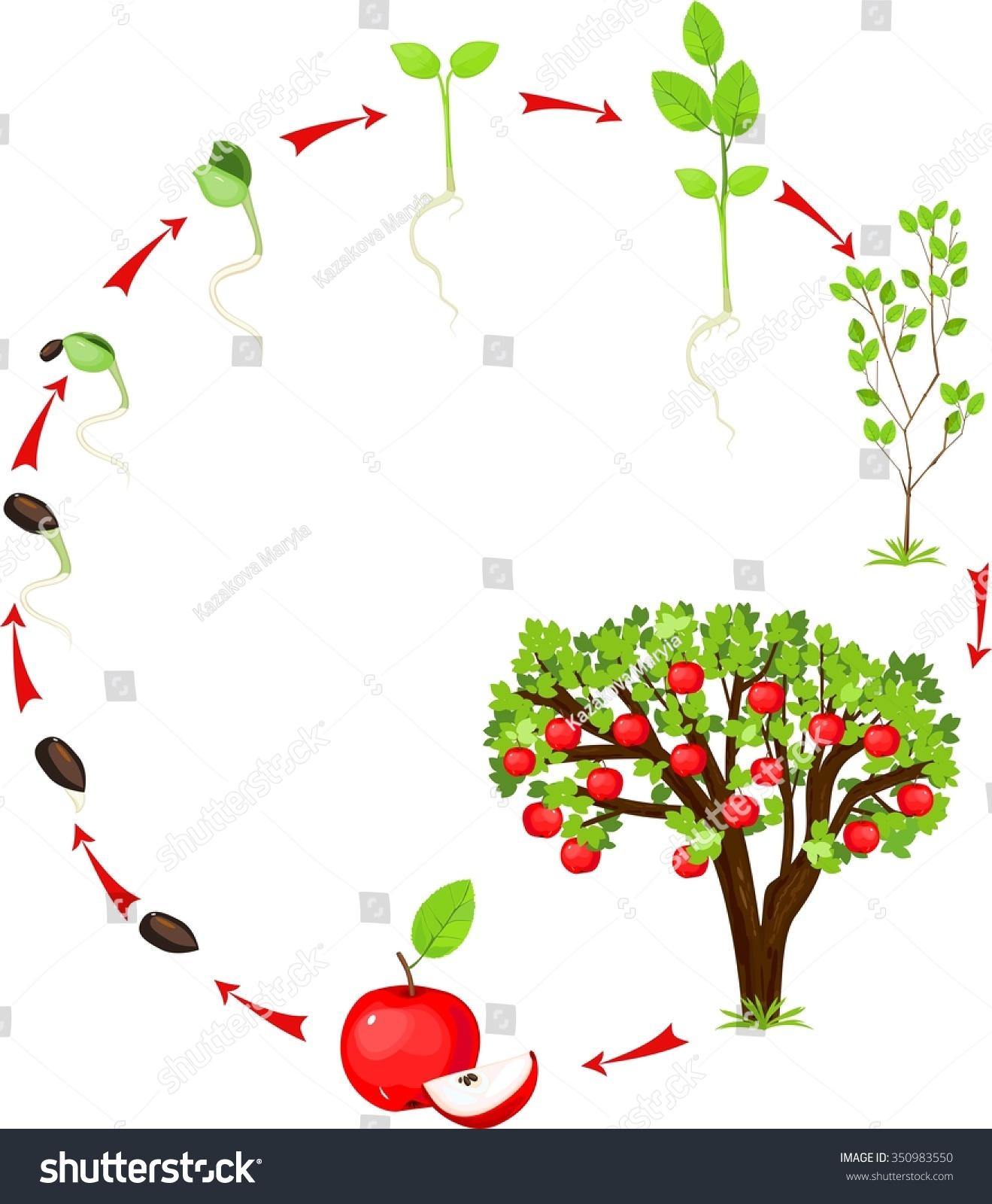 Life Cycle Apple Tree Stock Illustration