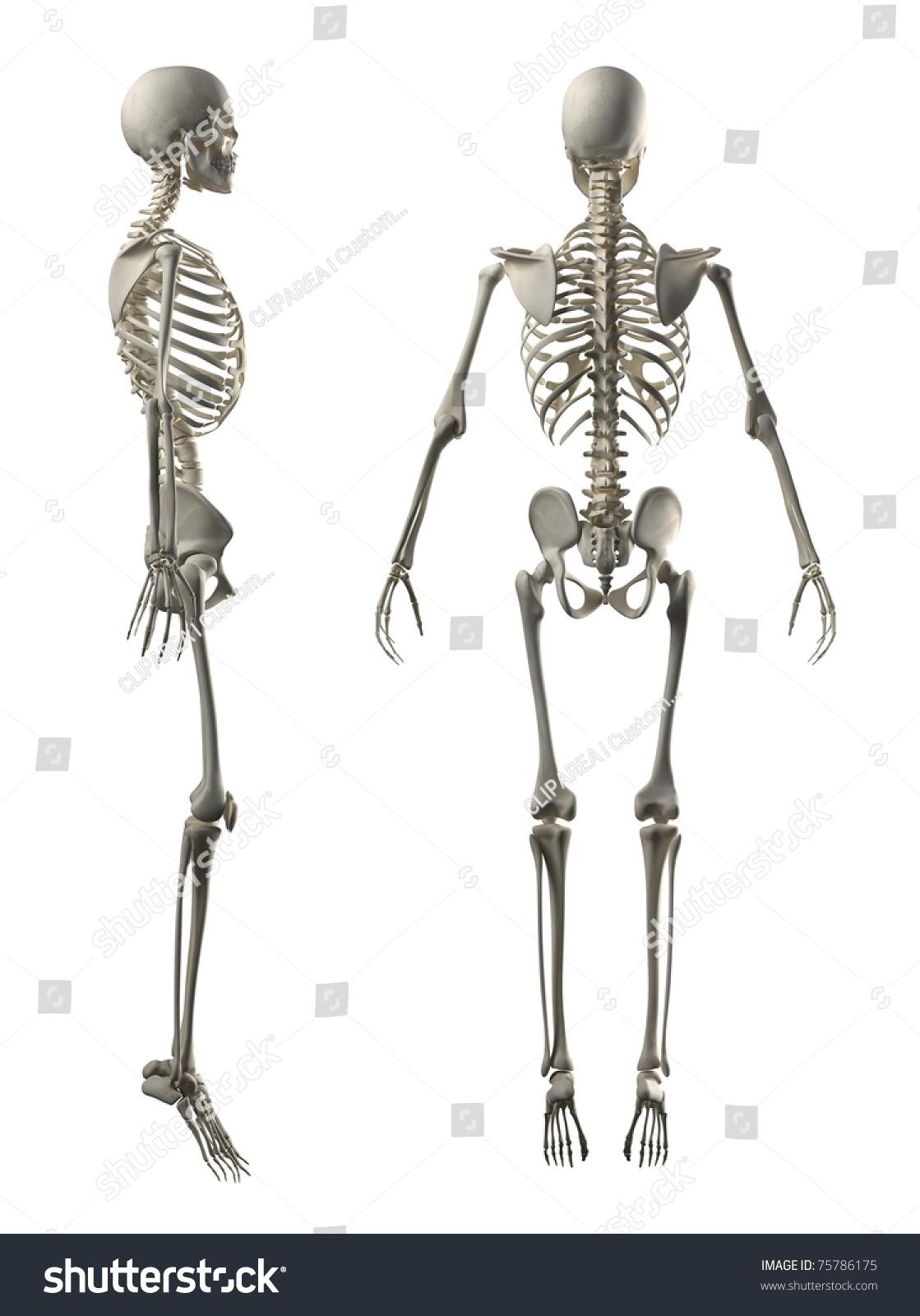 Male Full Skeleton Side Rear View Stock Illustration
