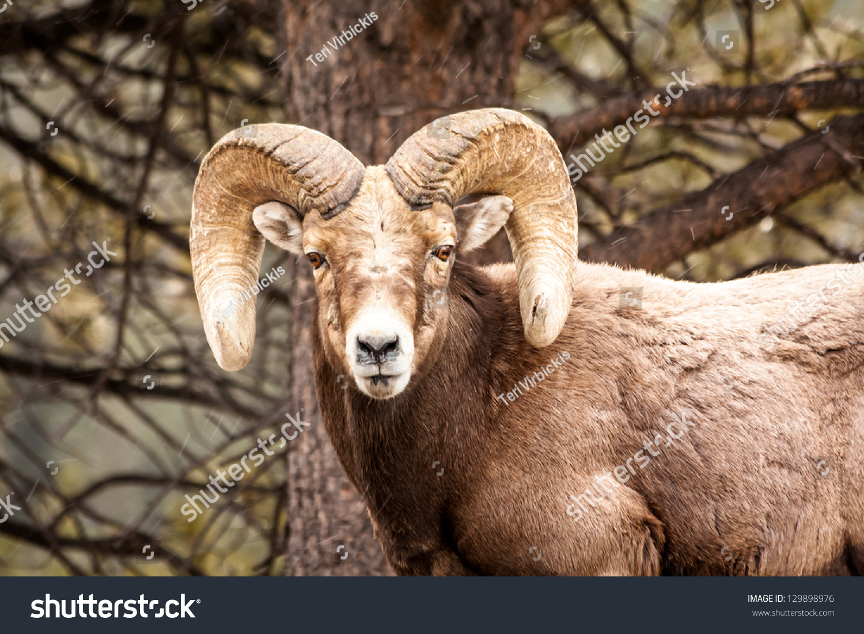 Male Rocky Mountain Bighorn Sheep Ram Stock Photo