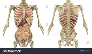 Male Skeleton With Internal Organs  Front And Back View