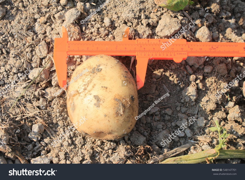 Measure Width Potatoes Potato Harvest Stock Photo