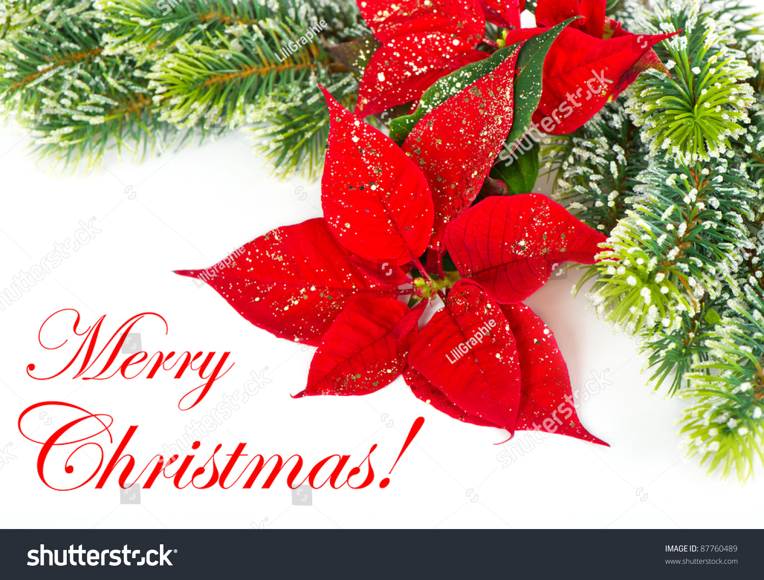 Merry Christmas Card Concept Red Poinsettia Stock Photo