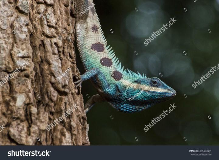 oriental garden lizard pet backyard | the arts, animals