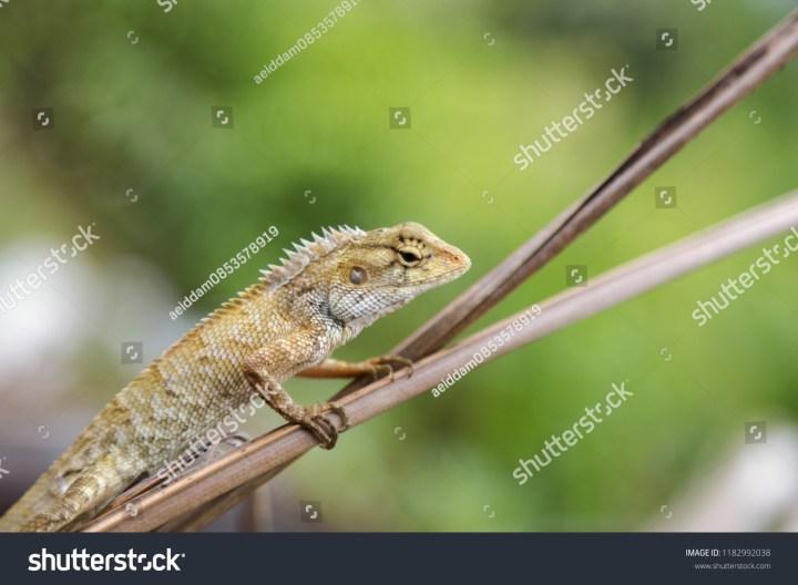 oriental garden lizard eastern garden lizard stock photo