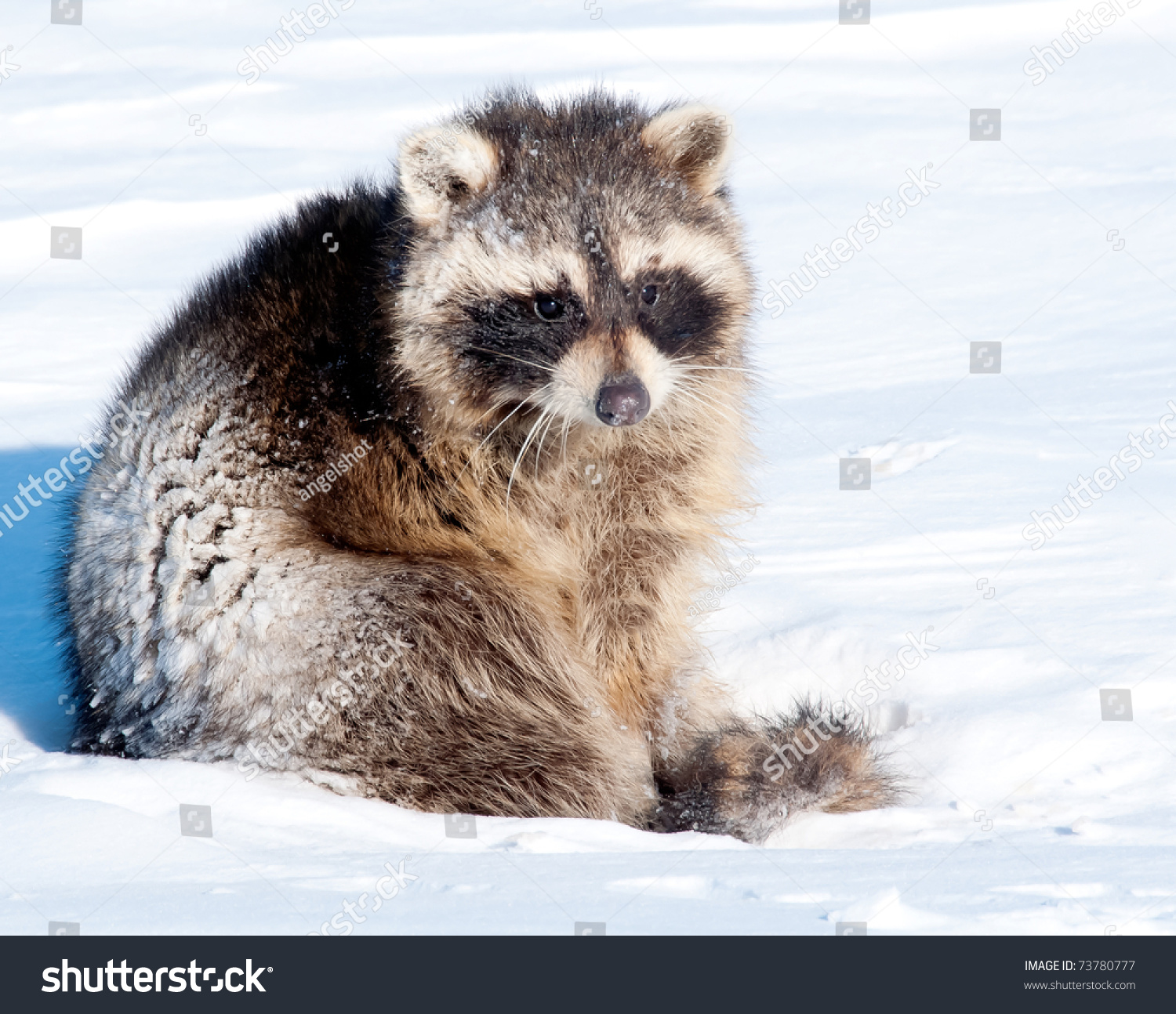Raccoon Coming Out Of Hibernation Stock Photo