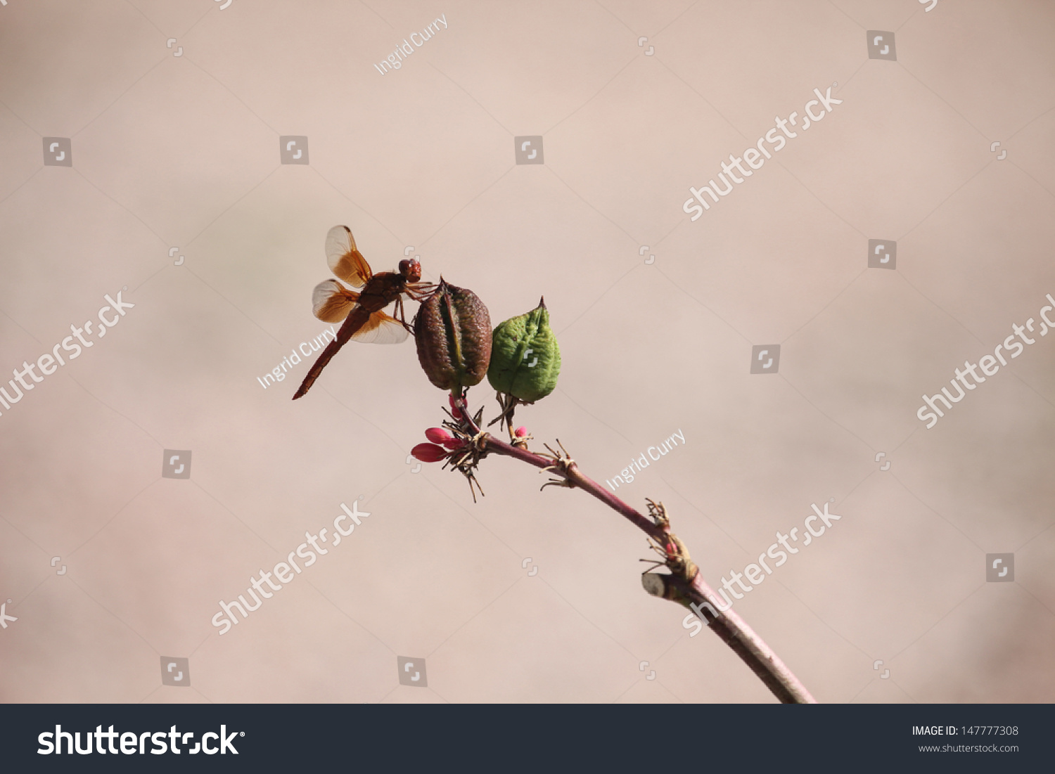 Rust Colored Dragonfly On Seedpod Of Red Yucca Plant In