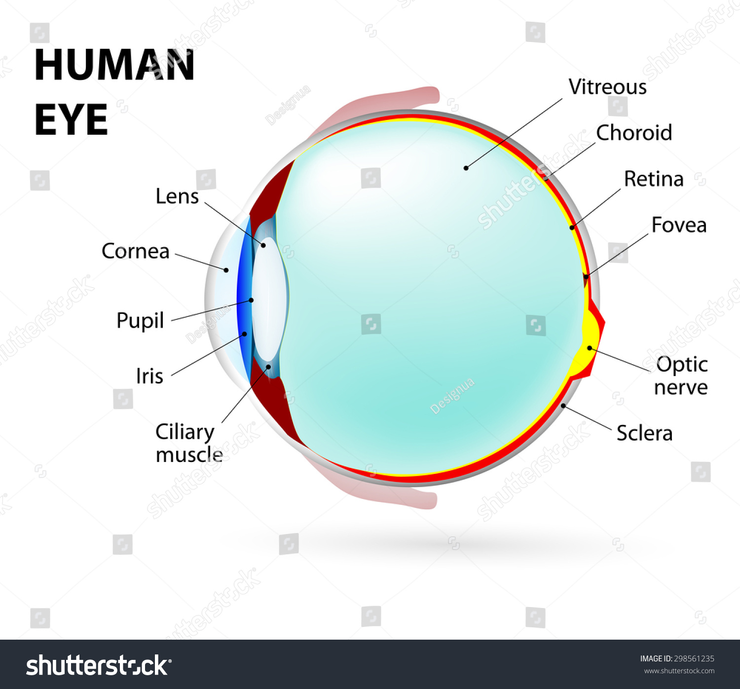 Schematic Diagram Of The Eye Human Anatomy Labeled Stock Photo Shutterstock