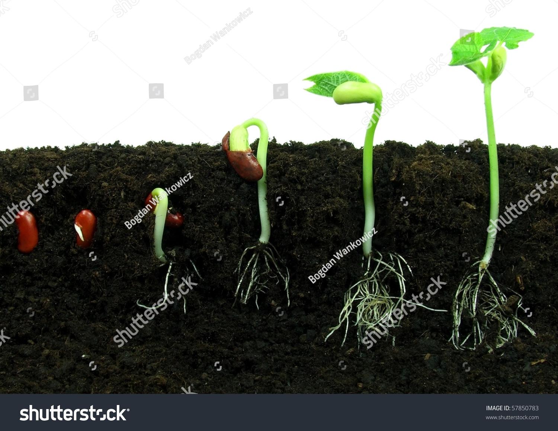 Sequence Bean Seeds Germination Soil Stock Photo