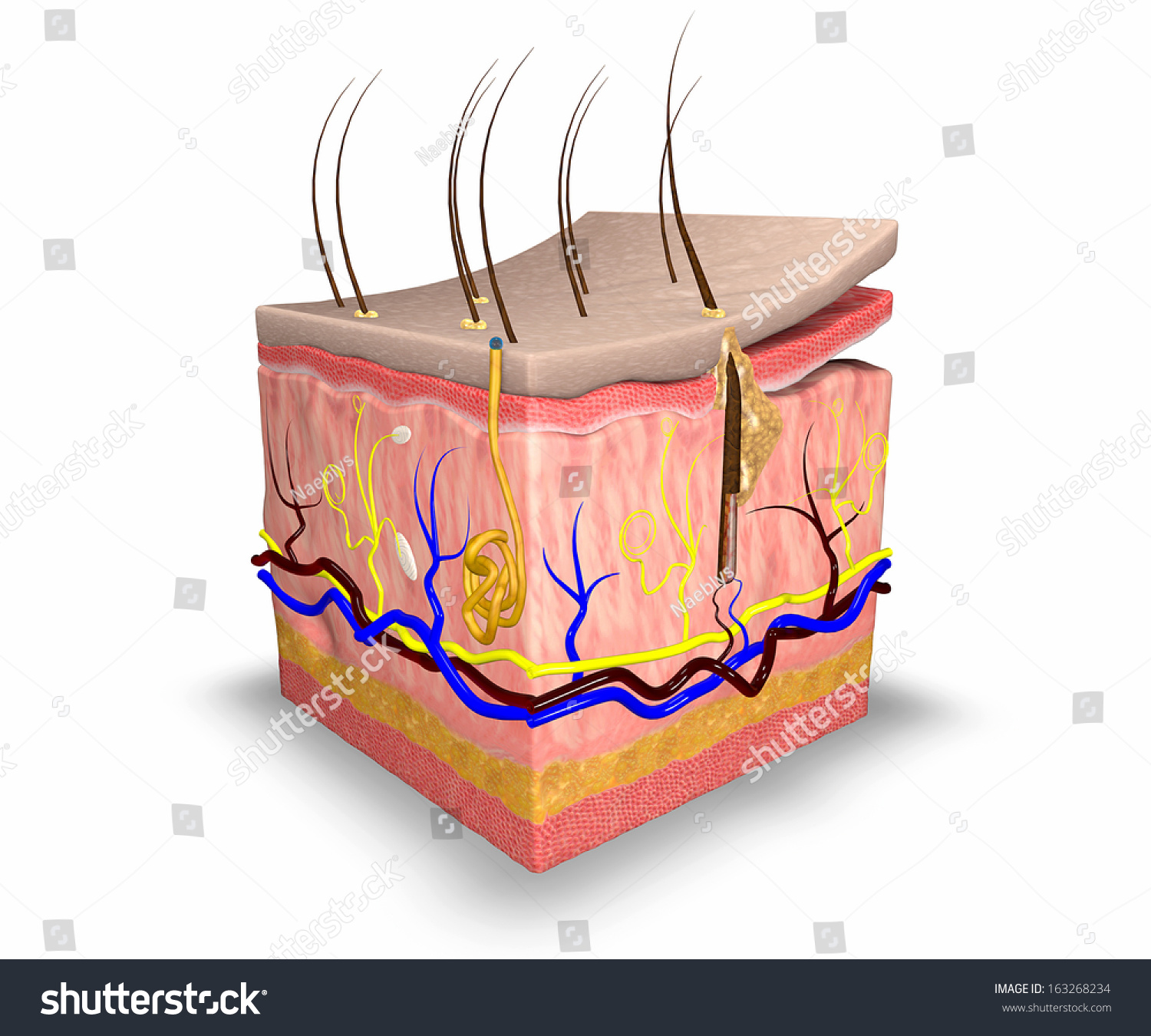 Skin Layers Consist Two Layers Superficial Stock